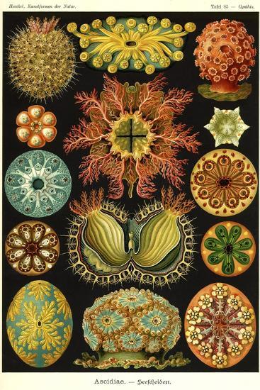 Ascidiae--Giclee Print