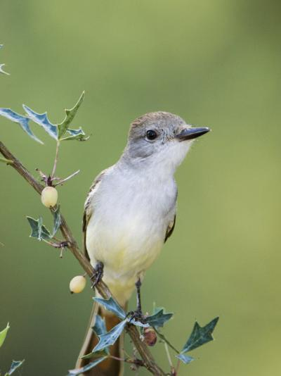 Ash-Throated Flycatcher, Uvalde County, Hill Country, Texas, USA-Rolf Nussbaumer-Photographic Print