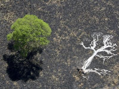 Ashes of a Burned Tree and a Live Standing One: Life and Death-Michael Polzia-Photographic Print