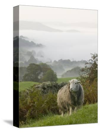 A Herdwick Sheep in the Lake District, United Kingdom