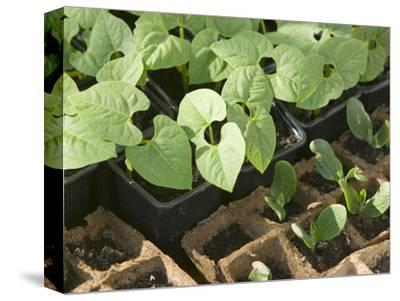 Bean Seedlings in Trays before Planting in a Garden
