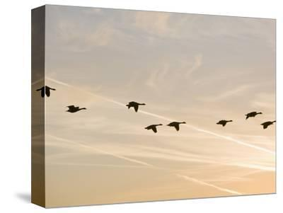 Canada Geese in Flight with Jet Contrails in the Sky Behind