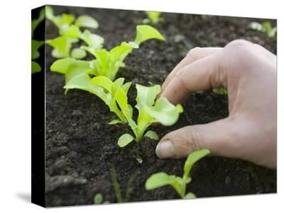 Hand Holding a New Lettuce Seedlings in a Garden