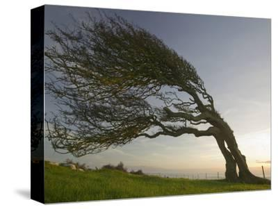 Hawthorn Tree Bent by Prevailing Winds