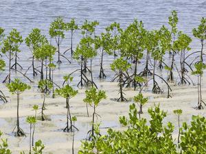 Mangroves Colonizing a Beach in Fiji by Ashley Cooper