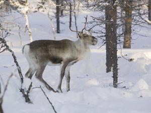 Reindeer Foraging in Northern Finland in Winter Near Saariselka by Ashley Cooper