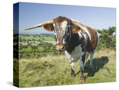 The Ancient Breed of English Longhorn Cattle