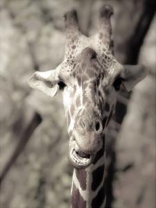 Giraffe What's Up by Ashley Davis