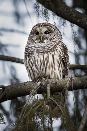 Barred owl on perch, United States of America, North America
