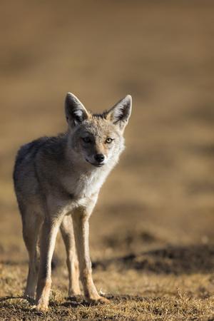 Black-backed jackal (Canis mesomelas), Ngorongoro Conservation Area, Tanzania, East Africa, Africa