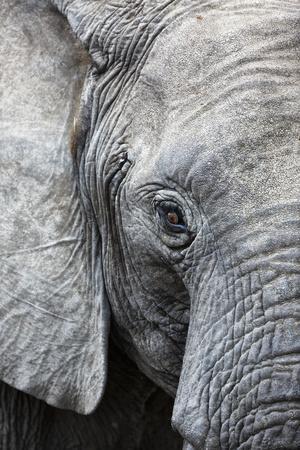 Eye of the African elephant, Serengeti National Park, Tanzania, East Africa, Africa