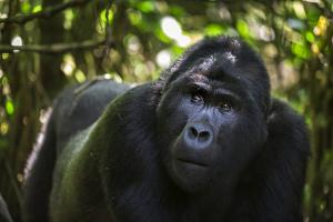 Mountain gorilla (Gorilla beringei beringei), Bwindi Impenetrable Forest, Uganda, Africa by Ashley Morgan