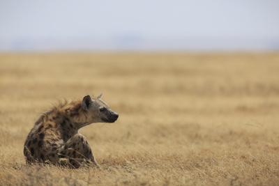 Spotted hyena (Crocuta crocuta), Ngorongoro Conservation Area, Tanzania, East Africa, Africa