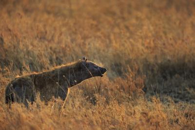 Spotted hyena (Crocuta crocuta), Serengeti National Park, Tanzania, East Africa, Africa
