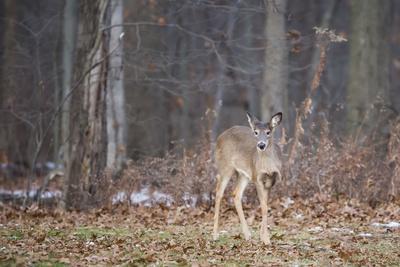 White-tailed deer (Odocoileus virginianus), Ohio, United States of America, North America