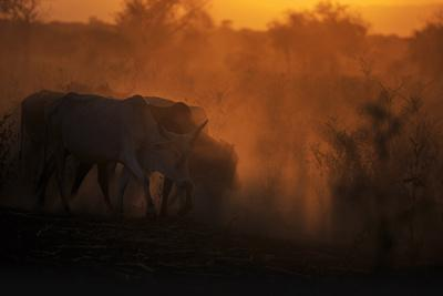 Zebu cattle grazing at dusk, Tanzania, East Africa, Africa