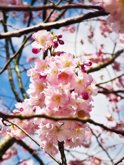 Asia Cherry Blossom-Wonderful Dream-Art Print