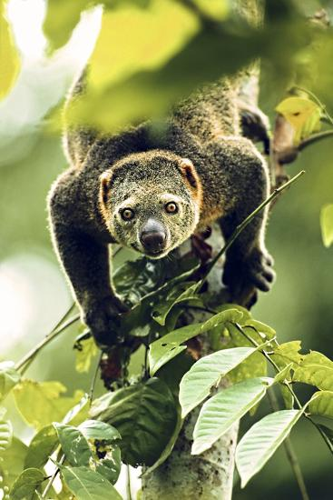 Asia, Indonesia, Sulawesi. Ailurops Ursinus, Bear Cuscus Descending a Tree-David Slater-Photographic Print
