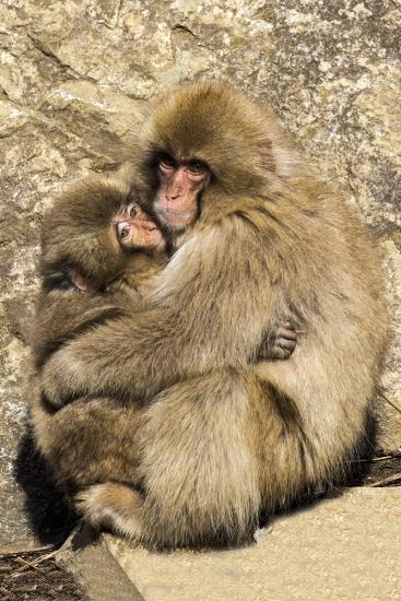 Asia, Japan, Jigokudani Monkey Park, Monkey Cuddling with Young-Hollice Looney-Premium Photographic Print