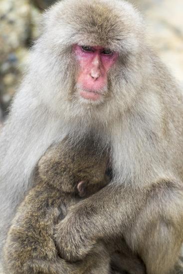 Asia, Japan, Jigokudani Monkey Park, Monkey Nursing Her Young-Hollice Looney-Premium Photographic Print