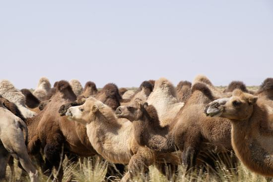 Asia, Western Mongolia, Lake Tolbo, Bactrian Camels-Emily Wilson-Photographic Print