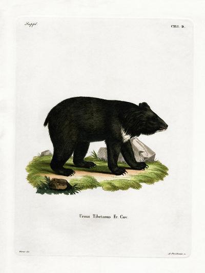 Asian Black Bear--Giclee Print