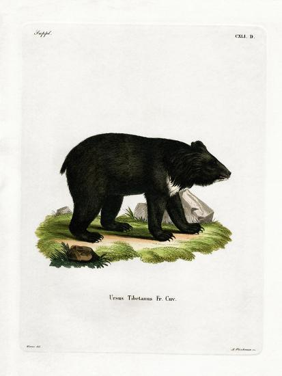 Asian Black Bear--Giclee Print