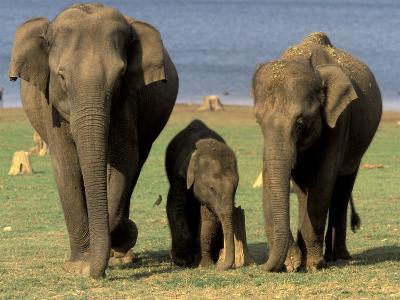 Asian Elephant Family, Nagarhole National Park, India-Gavriel Jecan-Photographic Print