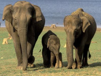 https://imgc.artprintimages.com/img/print/asian-elephant-family-nagarhole-national-park-india_u-l-p3vjpz0.jpg?p=0