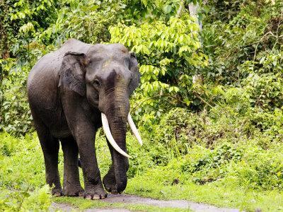 Asian Elephant, Male Walking on Track, Assam, India-David Courtenay-Photographic Print