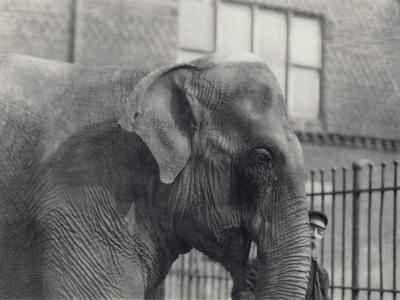Asian Elephant with Keeper, London Zoo, 1914-Frederick William Bond-Photographic Print