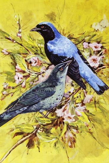 Asian Fairy-Bluebird (Irena Puella), Irenidae--Giclee Print