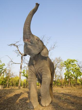 https://imgc.artprintimages.com/img/print/asian-indian-elephant-holding-trunk-in-the-air-bandhavgarh-national-park-india-2007_u-l-q10o0bf0.jpg?p=0