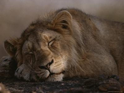 Asian Lion, Sleeping, Gir Forest, Gujarat State, India-Mattias Klum-Photographic Print