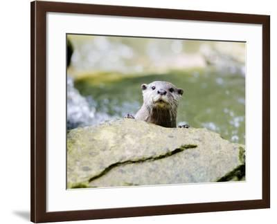 Asian Short Clawed Otter, Curious Otter Peering Over Rock, Earsham, UK-Elliot Neep-Framed Photographic Print