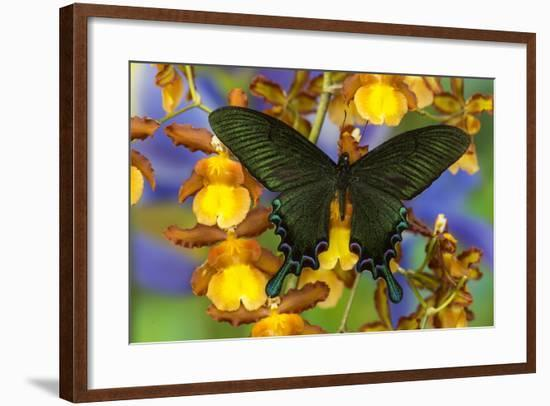 Asian Swallowtail Butterfly, Papilio Syfanius-Darrell Gulin-Framed Photographic Print