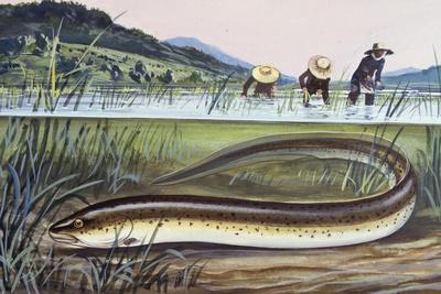 Asian Swamp Eel or Rice Eel (Fluta Alba), Synbranchidae--Giclee Print