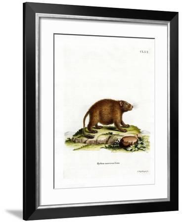 Asiatic Brush-Tailed Porcupine--Framed Giclee Print