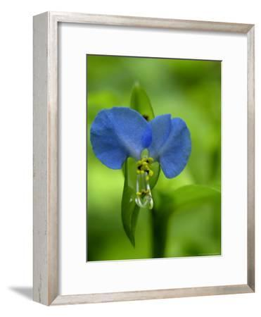 Asiatic Dayflower, a Wildflower of the Blue Ridge Mountains-White & Petteway-Framed Photographic Print