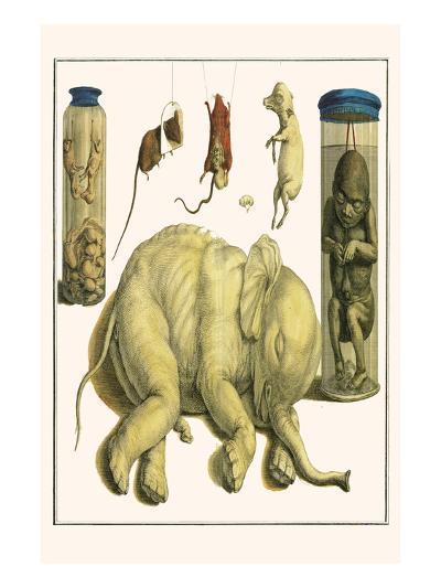 Asiatic Elephant, Human Fetus, Sheep Embryo, Pig Embryo, Mice-Albertus Seba-Art Print