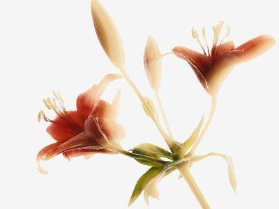 Asiatic lily--Photographic Print