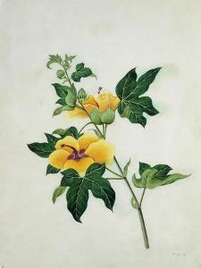 Asiatic Tree Cotton, c.1800-40