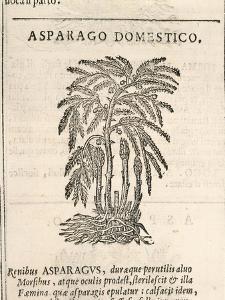 Asparagus (Asparagus Officinalis), by Castore Durante, 1585
