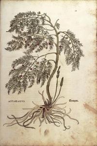 Asparagus (Asparagus Officinalis) by Leonhart Fuchs from De Historia Stirpium Commentarii Insignes