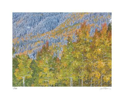 Aspen and Conifer Forest-Donald Paulson-Giclee Print
