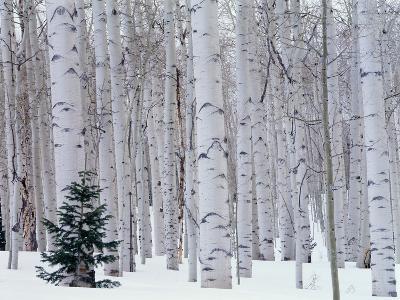 Aspen and Douglas Fir, Manti-Lasal National Forest, La Sal Mountains, Utah, USA-Scott T^ Smith-Premium Photographic Print