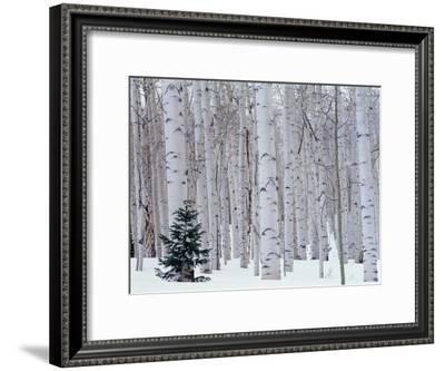 Aspen and Douglas Fir, Manti-Lasal National Forest, La Sal Mountains, Utah, USA-Scott T. Smith-Framed Photographic Print