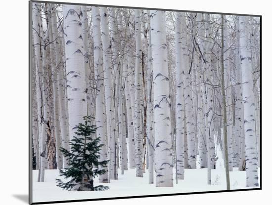 Aspen and Douglas Fir, Manti-Lasal National Forest, La Sal Mountains, Utah, USA-Scott T. Smith-Mounted Photographic Print