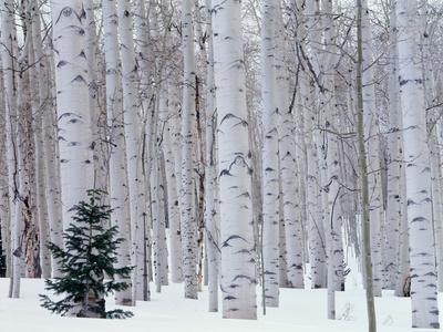 https://imgc.artprintimages.com/img/print/aspen-and-douglas-fir-manti-lasal-national-forest-la-sal-mountains-utah-usa_u-l-q1gdnyc0.jpg?p=0