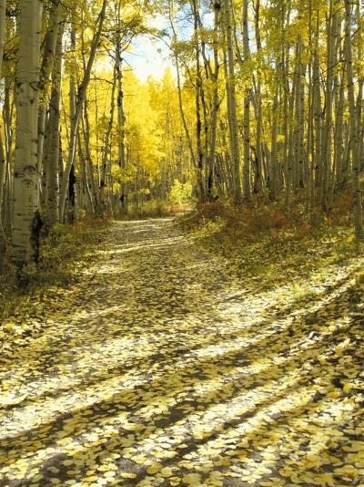Aspen, Dirt Road, Kebler Pass, Colorado, USA-Darrell Gulin-Photographic Print